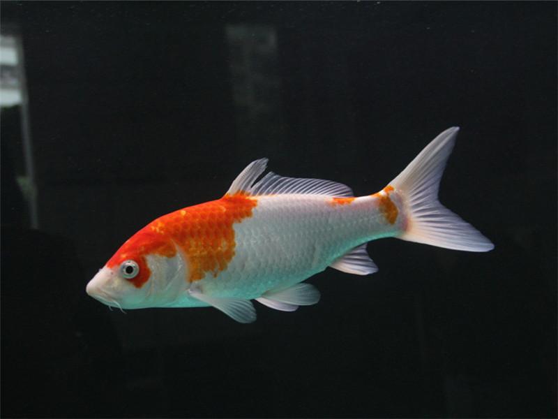 观赏鱼打印病的治疗方法