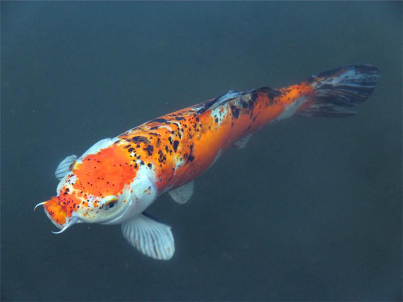 观赏鱼浮头的处理方法