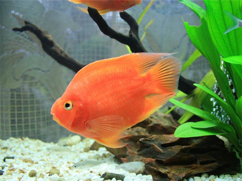观赏鱼黑斑病的治疗原则