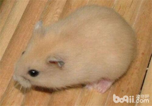 仓鼠湿尾症,仓鼠湿尾症价格 仓鼠湿尾症多少钱一只 仓鼠湿尾症好养