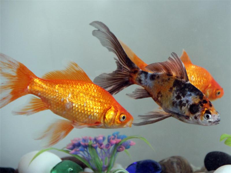 观赏鱼结节病的治疗原则