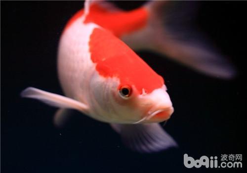 观赏鱼结节病的临床症状
