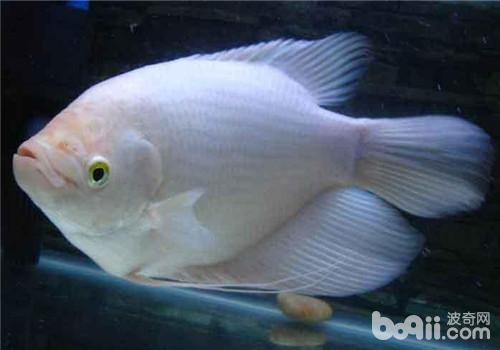 肥皂雕刻鱼图片