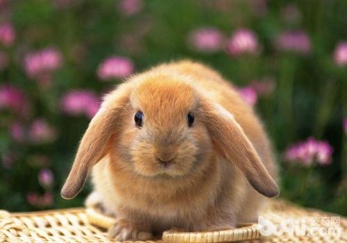什么样的兔子不宜繁殖后代