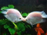 接吻鱼的繁殖注意事项