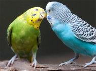 如何训练虎皮鹦鹉说话