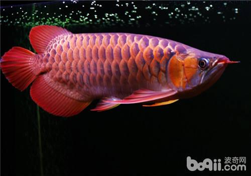 十种常见的龙鱼鳞片疾病介绍