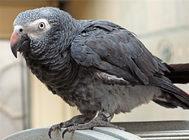 灰鹦鹉剪羽的方法及注意事项
