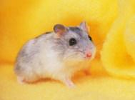 饲养仓鼠要注重其繁殖问题