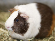 荷兰猪的常见病有哪些
