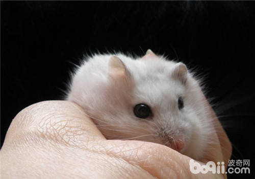 仓鼠常见的肢体语言分析