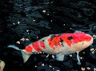 冬季錦鯉猝死的原因及處理方法
