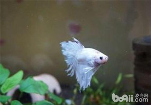 观赏鱼碘泡虫病的症状表现