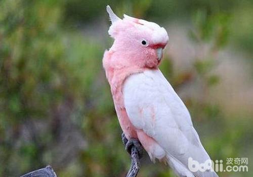 通常我们在已受感染的鸟的肛门处或者羽毛污秽处都能够检测到这种病毒