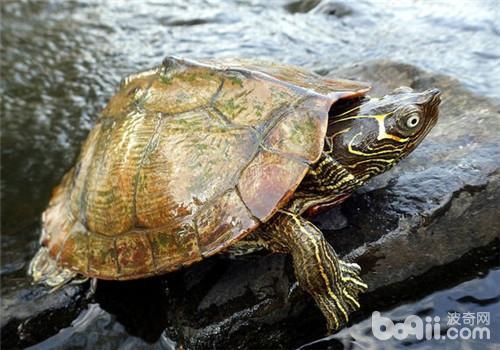 宠物龟红甲板病的症状表现