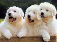 一例犬传染性肝炎病例治疗报告