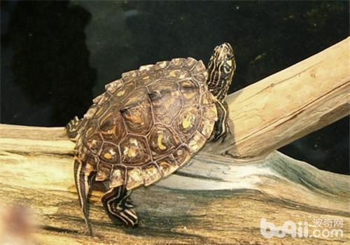 宠物龟霉菌病的防治要点
