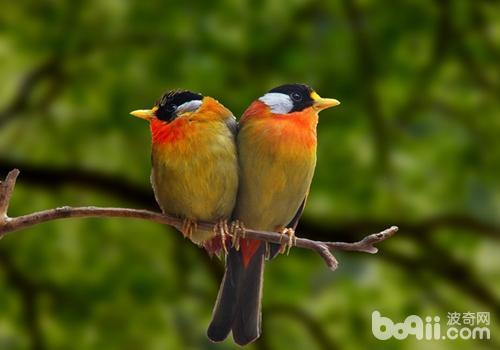 观赏鸟气喘病的症状有哪些