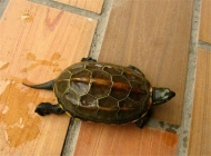 中华草龟能长多大?寿命有多长?