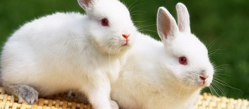 长期以往,兔子可能就会出现没精神,不愿站立,消瘦等情况,这是比较危险