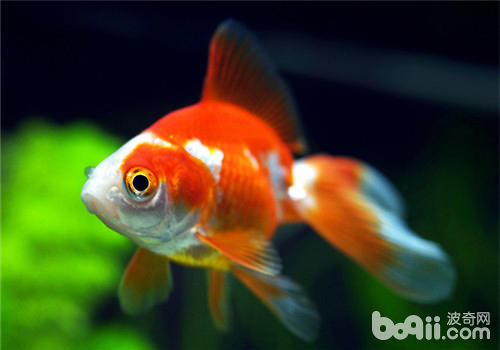 观赏鱼鱼鳍充血简介