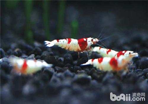 水晶虾的八种常见疾病