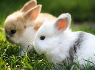不良环境和粉尘对家兔有什么伤害
