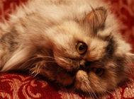 波斯猫常见病之皮肤霉菌病