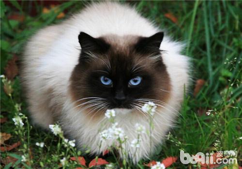 春节后如何正确的为猫咪减肥