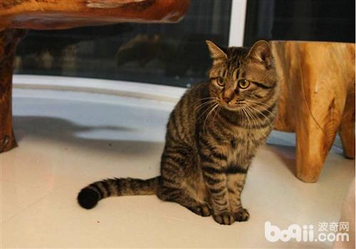 豹 豹子 壁纸 动物 猫 猫咪 小猫 桌面 500_350