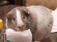 豚鼠孕期症状及注意事项