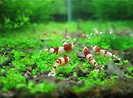 细数危害虾缸的九种虫子