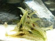 饲养黑壳虾的常见问题