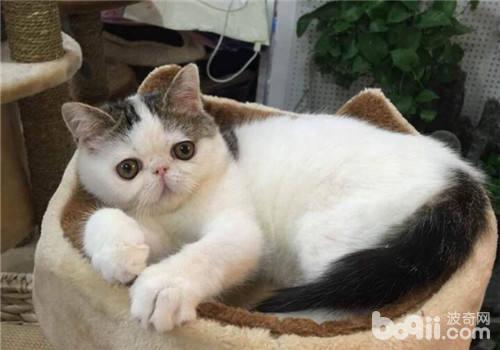 购买猫咪的途径及注意事项