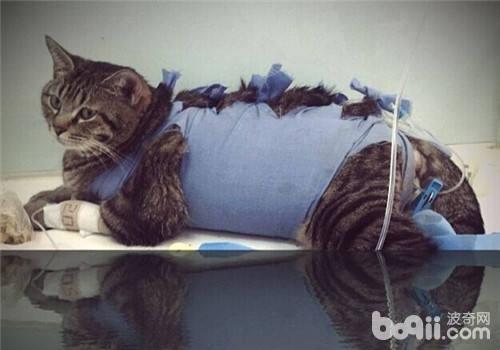 哪些猫咪需要导尿之猫咪导尿的方法