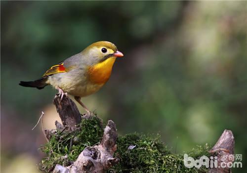 人工孵化雏鸟的三大要点