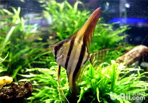 神仙鱼繁殖过程中的常见问题及处理方法
