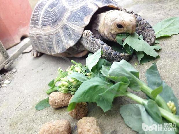 南方倒春寒,养冬眠陆龟的主人要多个心眼