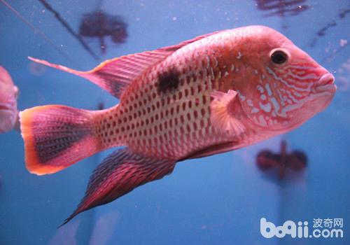 观赏鱼混养的注意事项