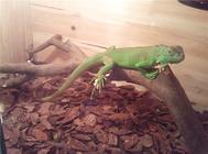 如何驯养绿鬣蜥?