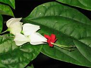 龙吐珠的栽培方法与注意事项