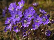 紫罗兰的栽培方法与管理要点