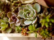 多肉植物的叶插方法详述