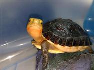 龟的肢体语言详解