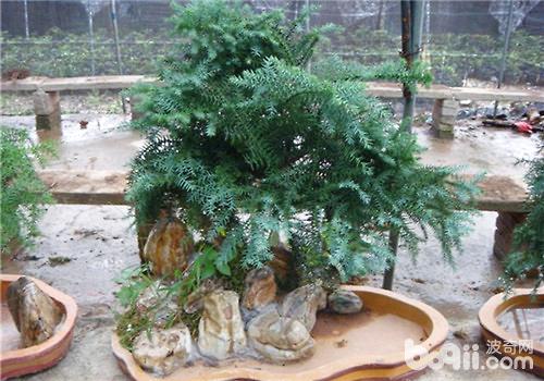 澳洲杉的栽培要点