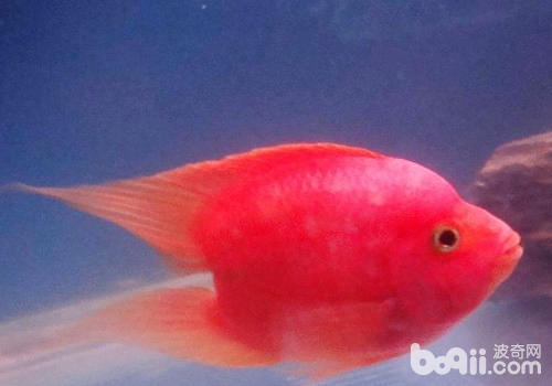 保持鹦鹉鱼血红色的秘诀有哪些?