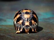 關于陸龜的排酸與結石