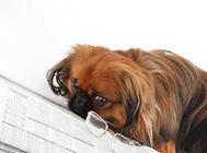 怎样训练狗狗定点排尿