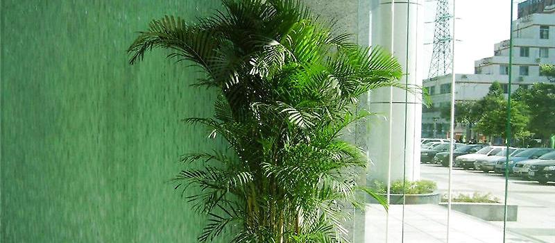凤尾竹的栽培与繁殖要点