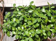 玻璃翠的繁殖管理